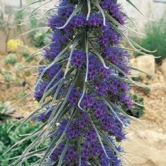 Thompson and Morgan Giant Vipers Bugloss - 25 seeds