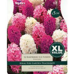 Taylors Hyacinth Raspberry Ice Fusion 12 Bulbs