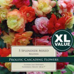 Spring Bulbs - Begonia Splendide Mixed - 5 Bulbs