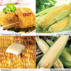 Vegetable Seeds Sweet Corn Varieties - 45 Seeds
