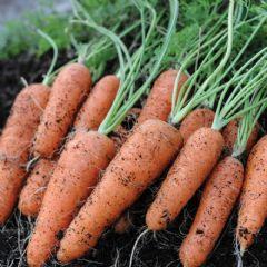 Seed Tape Carrot Flyaway - 400 Seeds