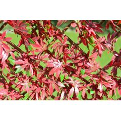 WonderWal Red Acer Leaf Trellis on Willow Frame - 1m x 2m