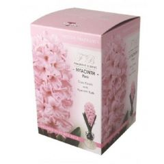 Taylors Pink Hyacinth Bulb with Glass Carafe Gift Box