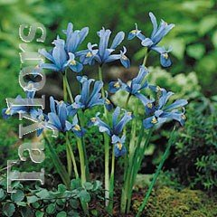 Autumn Bulbs - Iris Reticulata-15 Bulbs