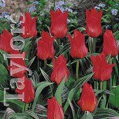 Autumn Bulbs - GregiiTulip- Red Riding Hood-10 Bulbs