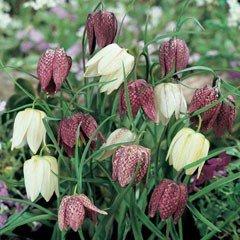 Autumn Bulbs - Snakes Head Fritillaria-12 Bulbs