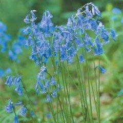 Autumn Bulbs - English Grown Bluebell-7 Bulbs