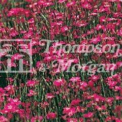 Flower Seeds - Dianthus Maiden Pink Brilliancy