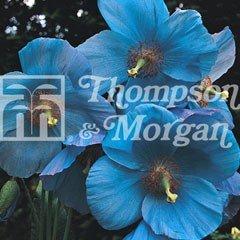 Flower Seeds - Poppy Blue (Meconopsis)