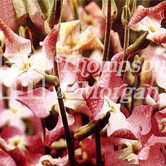 Flower Seeds - Stocks Night Scented