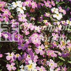 Flower Seeds - Stocks Virginia Mixed