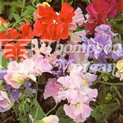 Flower Seeds - Sweet Pea (Lathyrus ) Early Mammoth Mixed