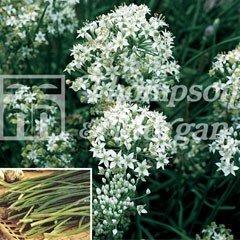 Herb Seeds - Garlic Chives