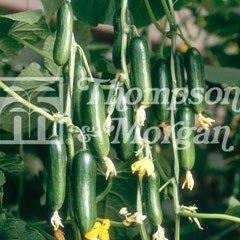 Vegetable Seeds - Cucumber Cucino F1 Hybrid