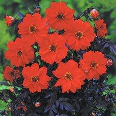 Spring Bulbs - Dahlia Bishop of Llandaff- Pack of 3Tubers