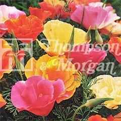 Flower Seeds - Californian Poppy Monarch Mix