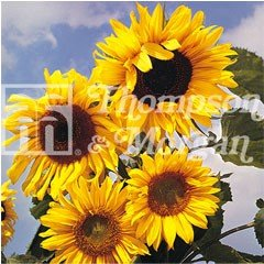 RHS Childrens Seeds - Sunflower Russian Giant