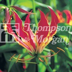 World Garden Seeds - Mixed Glory Lily