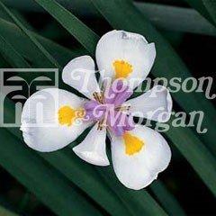 World Garden Seeds - Wild Iris