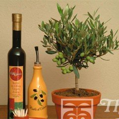 World Garden Seeds - Olive