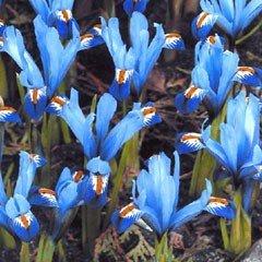 Autumn Bulbs - Iris ''Gordon''-15 Bulbs