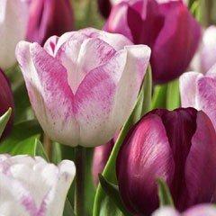 Autumn Bulbs - Tulips 'Raspberry Ripple Classic Combination'-15 Bulbs