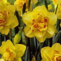 Autumn Bulbs - Tahiti Daffodil - Pack of 5 Bulbs