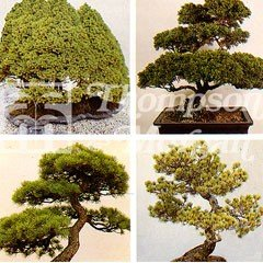 Flower Seeds - Bonsai Conifers Trees Mixed