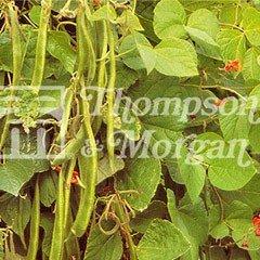 Vegetable Seeds - Runner Bean Enorma