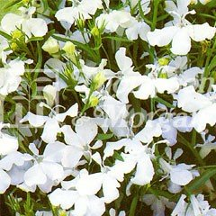 Flower Seeds - Lobelia (Trailing) White Cascade