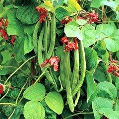 Vegetable Seeds - Runner Bean Wisley Magic