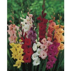 Spring Bulbs - Gladioli Mixed 25 Bulbs