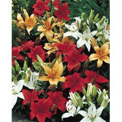 Spring Bulbs - Lillies Mixed - Value Pack of 9