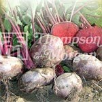 Heritage Seed Collection - Beet Egyptian Flat Rooted Kahira