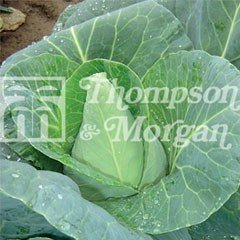Heritage Seed Collection - Cabbage Jersey Wakefield