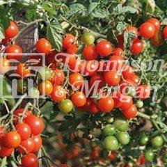 Fruit Seeds - Tomato Sweet Baby