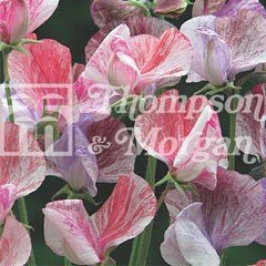 Flower Seeds - Sweet Pea Statesman Mixed