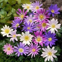 Autumn Bulbs - Anemone Blanda Mixed-50 Bulbs