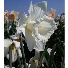 Autumn Bulbs - Daffodils Mount Hood - 5 Bulbs