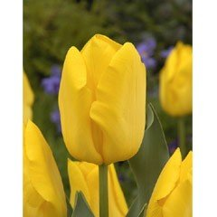 Autumn Bulbs - Tulips Golden Apeldoorn - 8 Bulbs