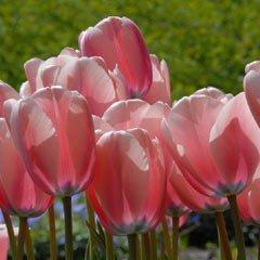 Autumn Bulbs - Tulips Salmon Impression - 8 Bulbs