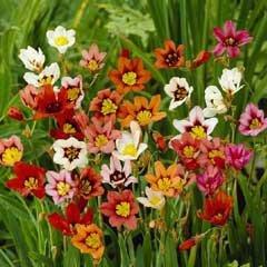 Autumn Bulbs-Sparaxis 'Harlequin Flower'- 25 Bulbs