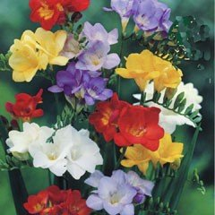 Spring Bulbs - Freesia-Mixed Single Flower-Pack of 10