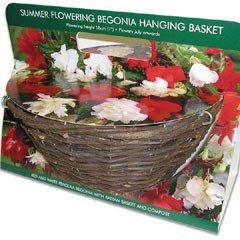 Large Begonia Hanging Basket