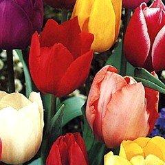 Taylors Tulip Garden Mixed - 30 Bulbs