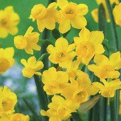Autumn Bulbs - Narcissi Little Oliver - 8 Bulbs
