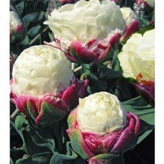 Autumn Bulbs - Tulip Ice Cream - 3 Bulbs