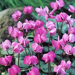 Autumn Bulbs - Cyclamen Coum - 2 Bulbs
