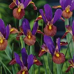 Autumn Bulbs - Iris Dutch Black Beauty - 15 Bulbs