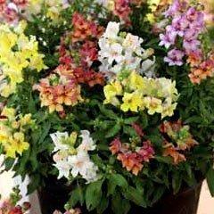Flower Seeds - Antirrhinum Reminiscent Mixed F1 Hybrid